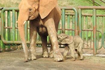 Nace un nuevo elefante africano