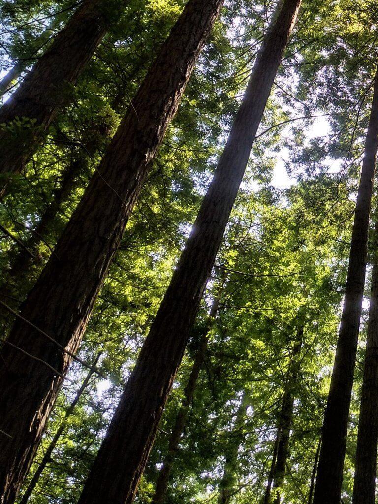 Bosque Secuoyas del Monte Cabezón en Cantabria Cantabria